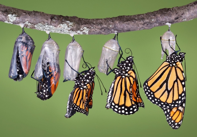 Butterflies-in-cocoons-emerging.jpg