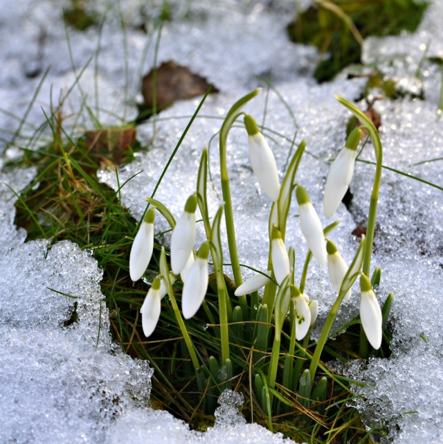First-snowdrops-flowers.jpg