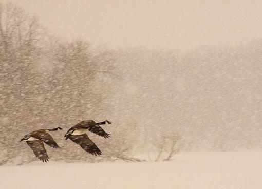 geese in a snowstorm.jpg