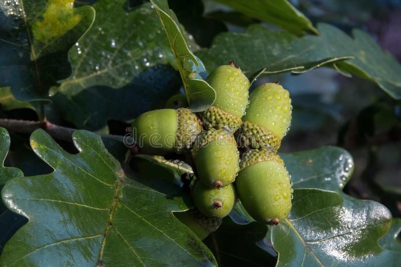 closeup-acorns-oak-quercus-robur-l-unripe-green-nuts-branch-rain-76341645