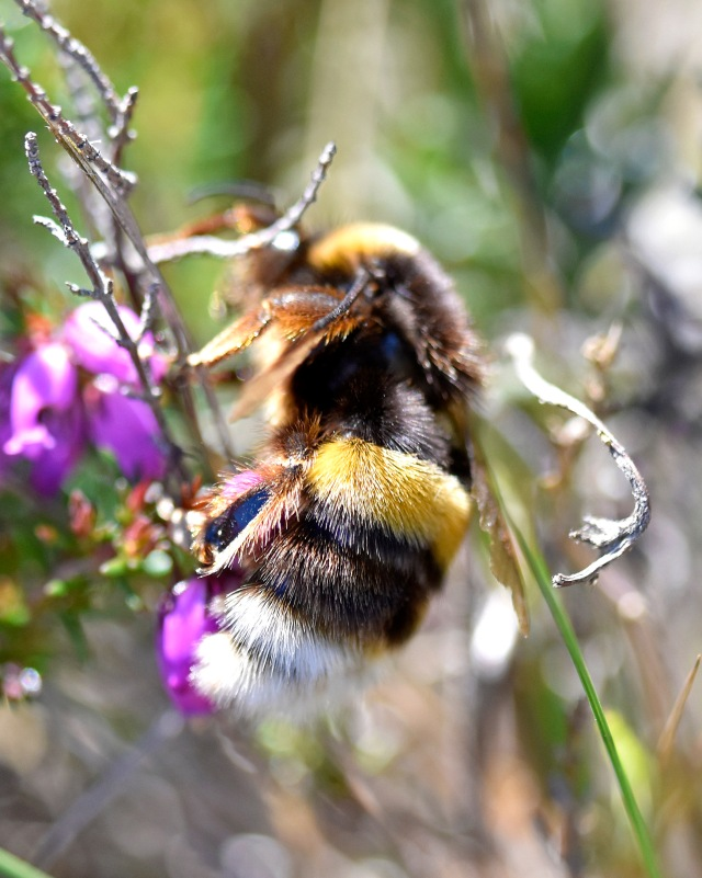 white-tailed-bumblebee-queen-bombus-lucorum-4