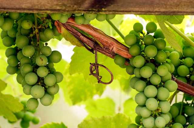 wine-grape-entwine-plant-climber-plant-grape-crop 8