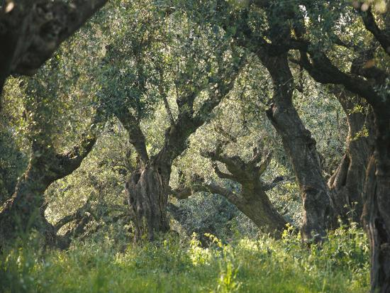 greece-olive-grove-olive-trees-old_u-l-q11z0zt0